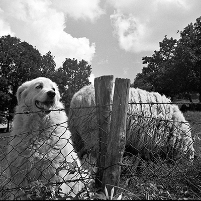Cane pastore e pecora - Shepherd dog and sheep - Fomapan 400